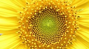 sun_flower1